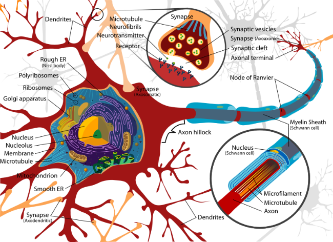 Motor neuron diseases What is lower motor neuron disease